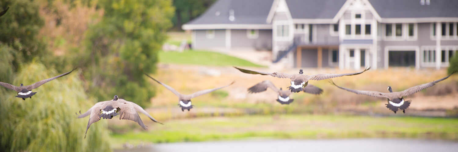 Geese flying in real estate development in Orono MN